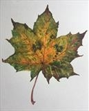 Sycamore Leaf by Bridget Rust, Painting, Watercolour on Paper